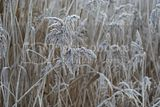 Frosted reeds